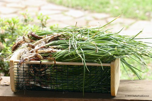 Basket of shallots