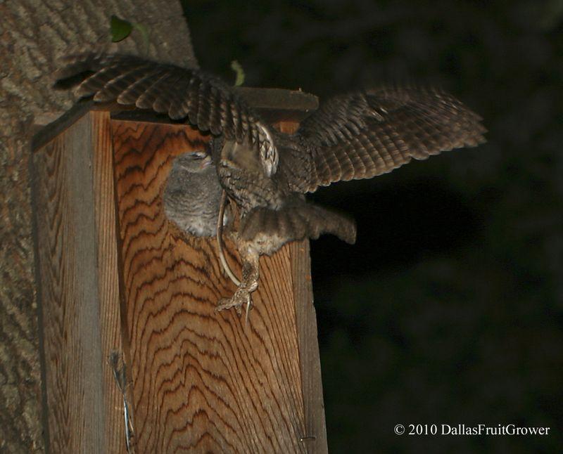 Feeding owls
