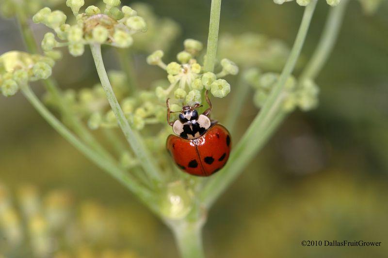 Ladybug on dill flower