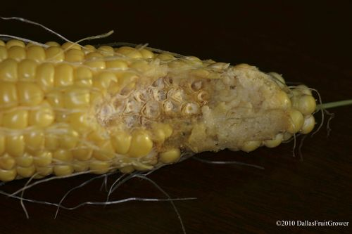 Corn earworm damage