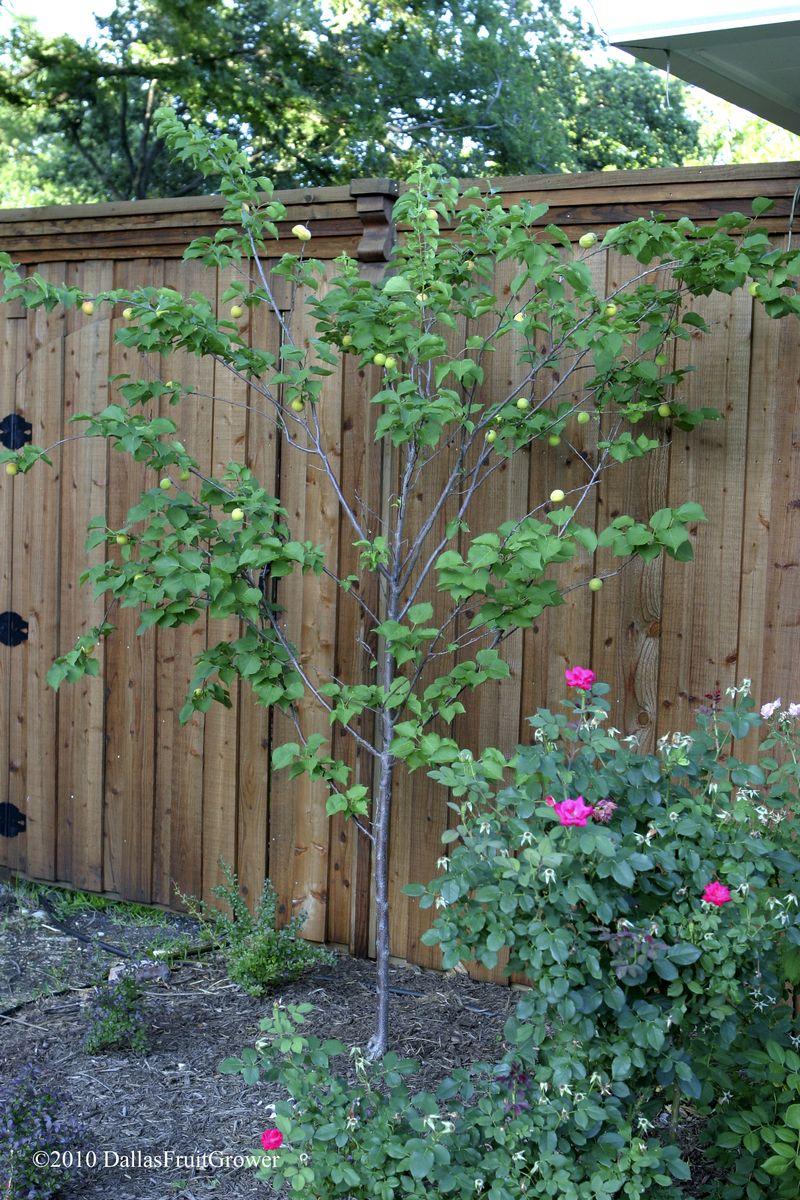 Apricot tree 2010