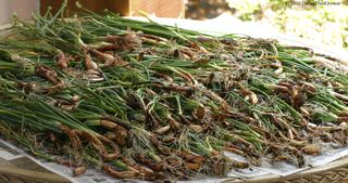 Shallots drying copy