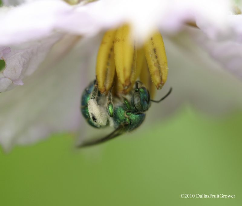 Green bee in eggplant blossom