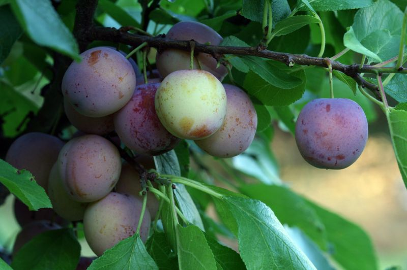 Dallas Fruit And Vegetable Grower Growing Plums In Dallas And