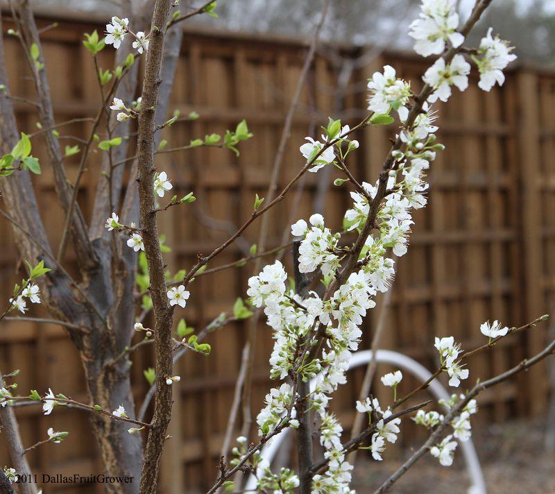 Pluot blooms 2-25