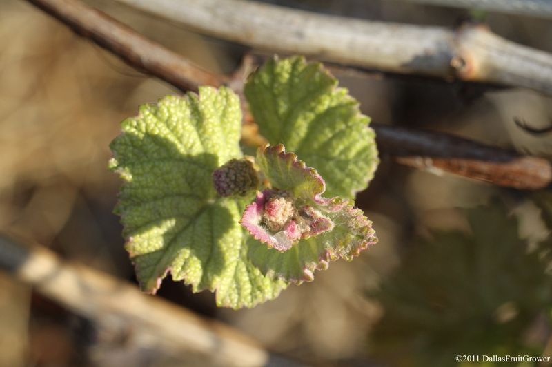 Grape blossom 1