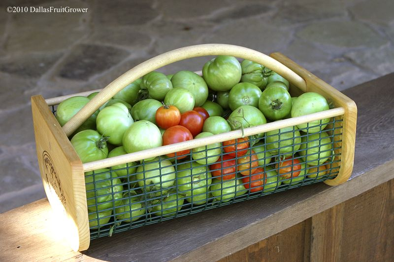 Tomatoes in hod