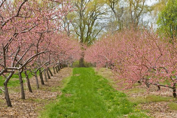 Dallas Fruit And Vegetable Grower Growing Cherry Trees