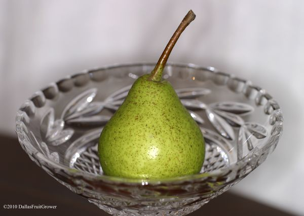 Ripe Warren pear
