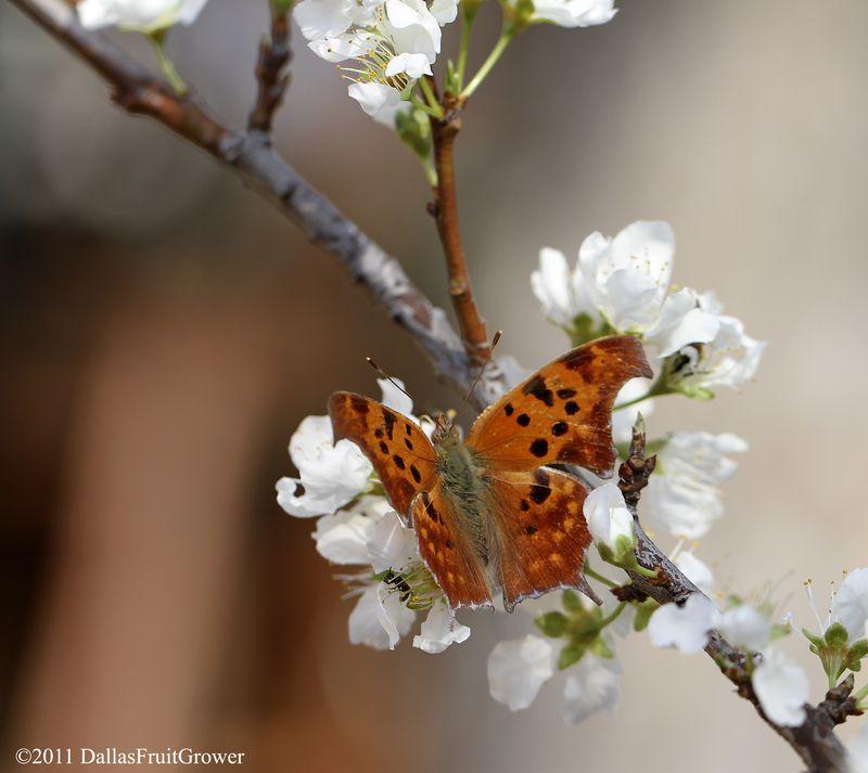 Butterfly on pluot blosom