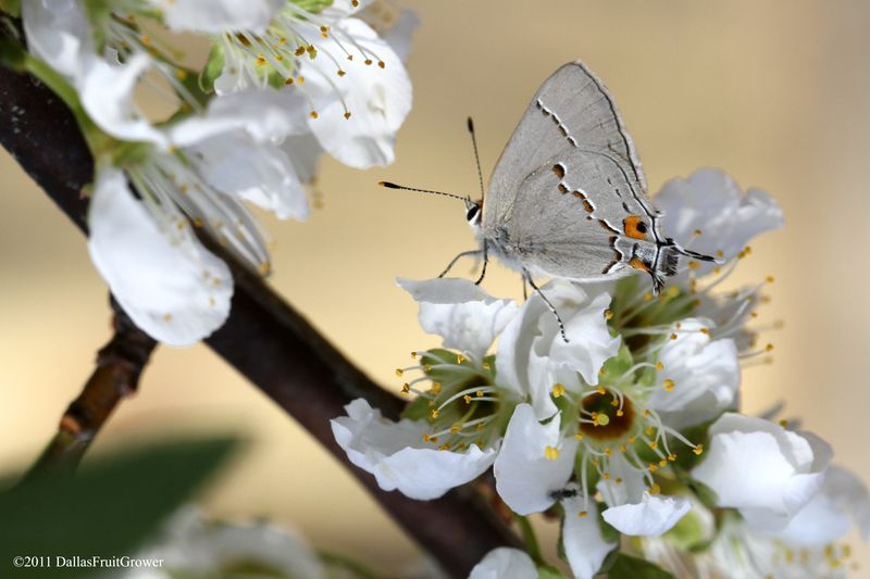 Gray hairstreak on pluot