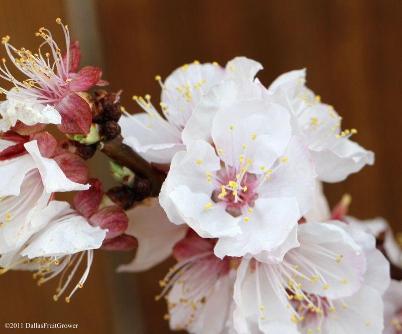 Peachcot blossom