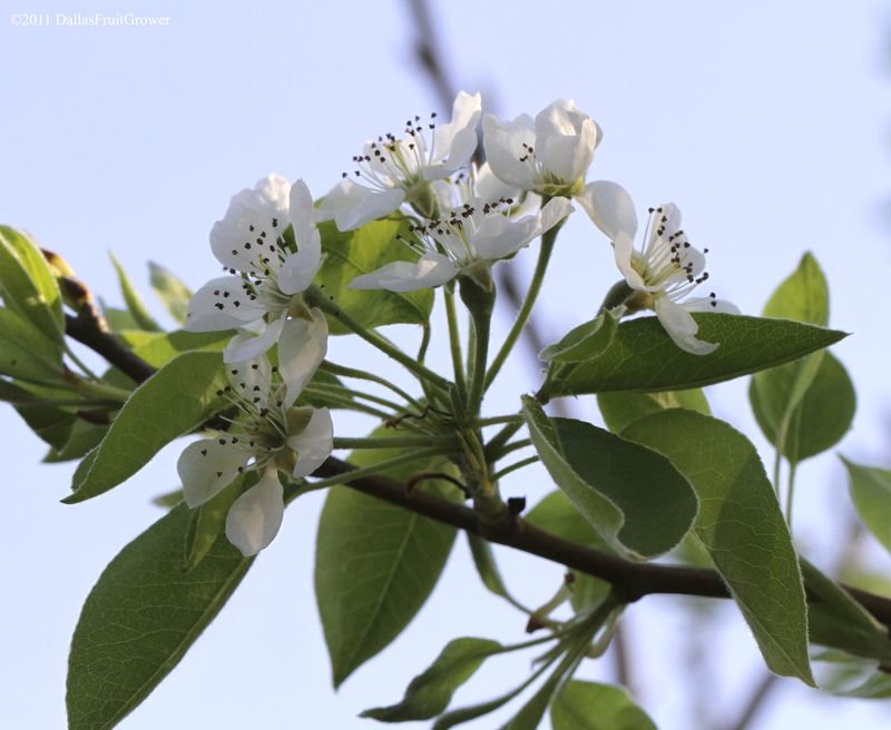 Asian pear blossom