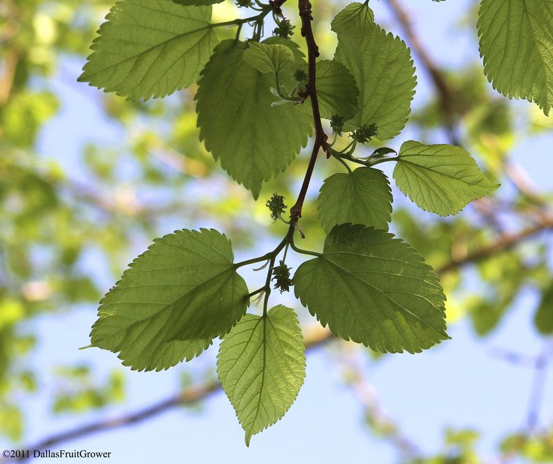 Mulberry blossoms