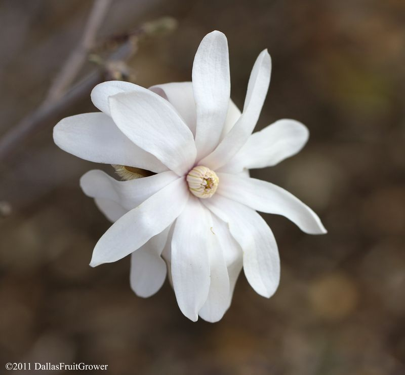Magnolia stellata bloom 2