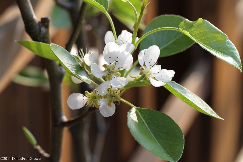 Magness pear blossom