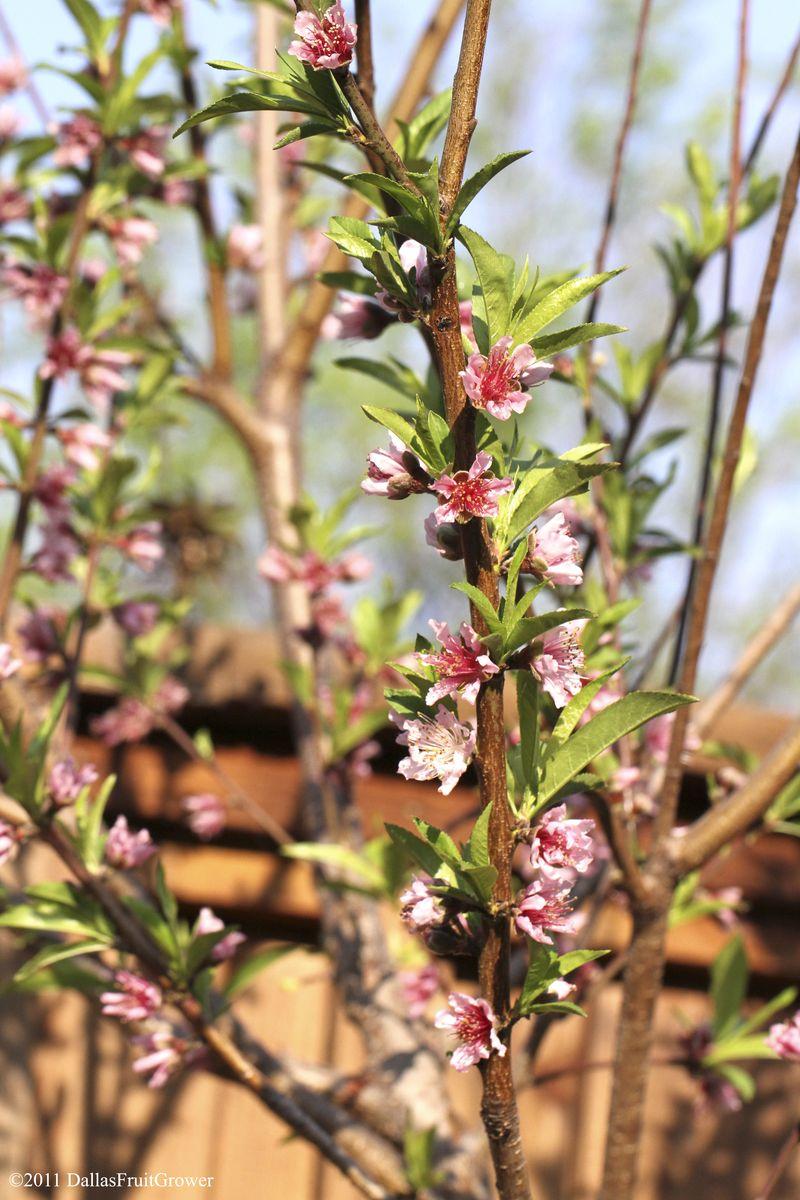 Peach tree in bloom