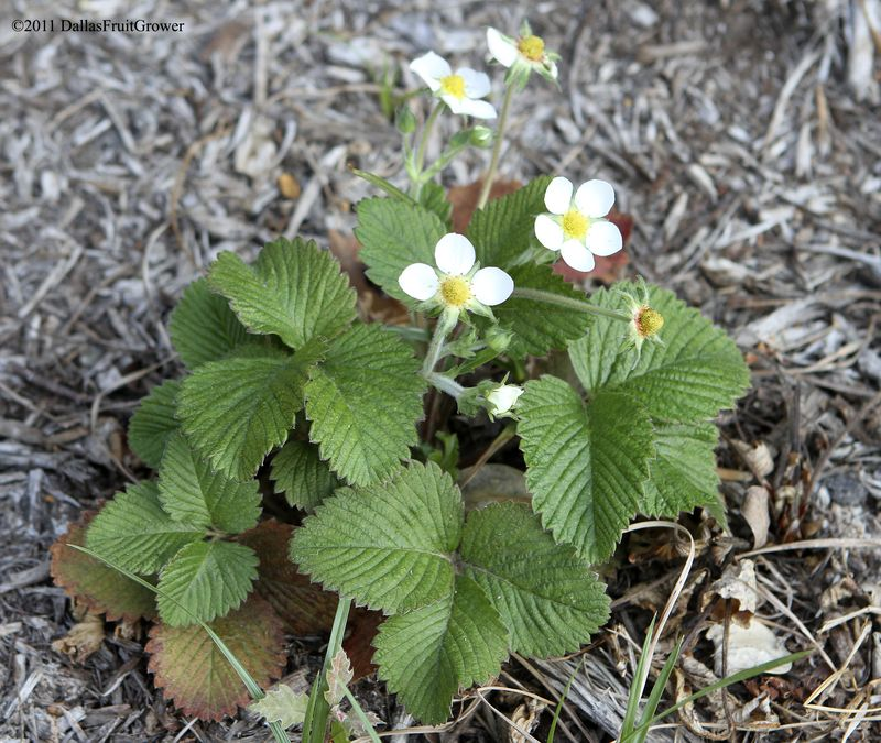Musk strawberry in bloom