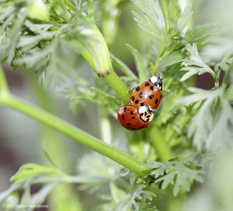 2 ladybugs
