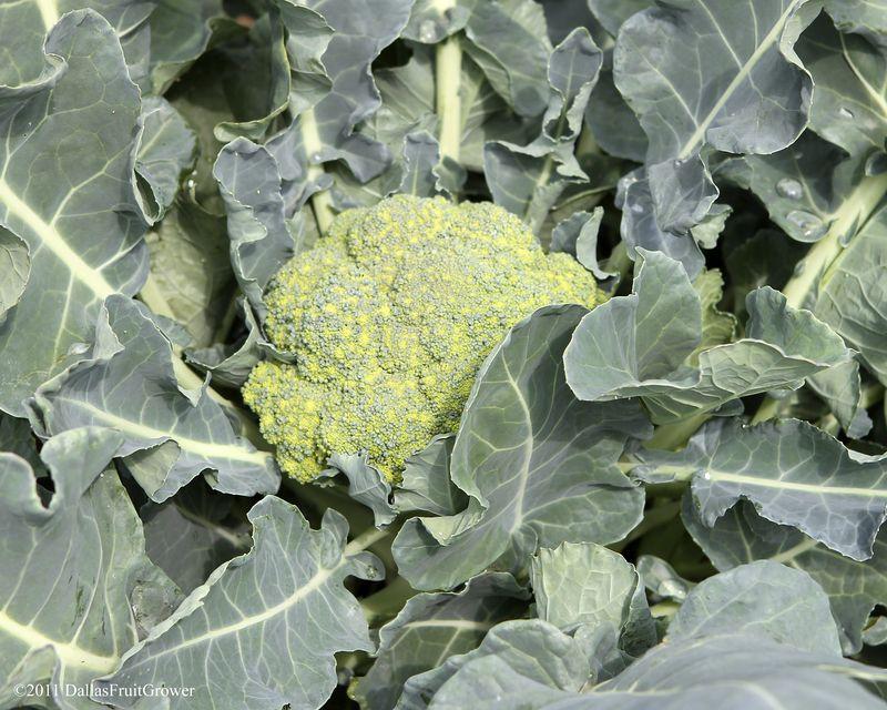 Broccolli 1