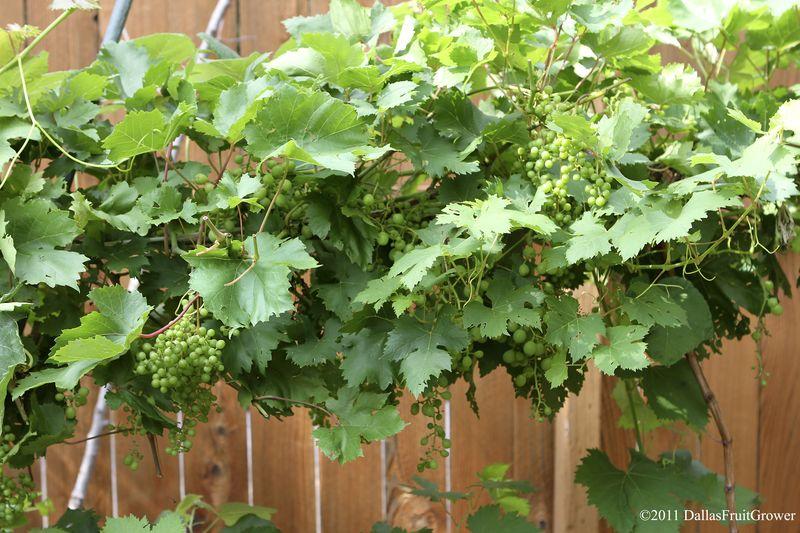 Grape trellis