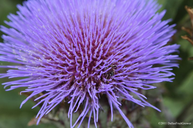 Artichoke with disappearing bee