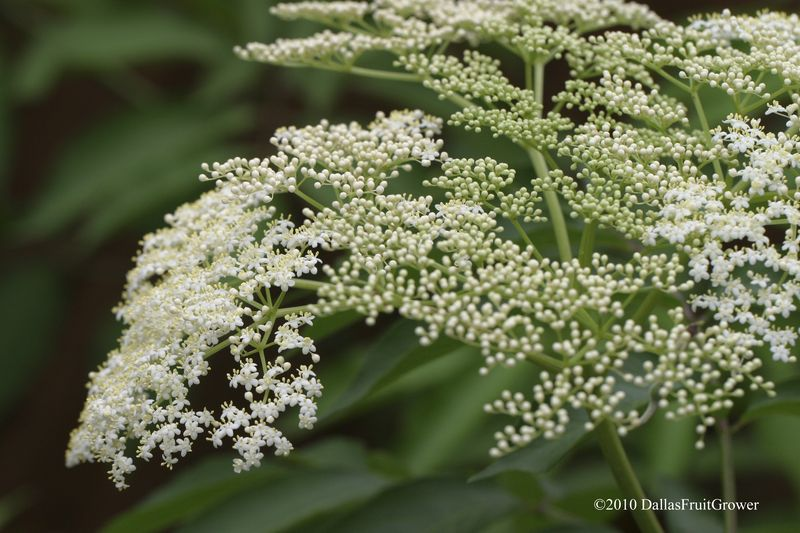 Elderberry blossom close-up