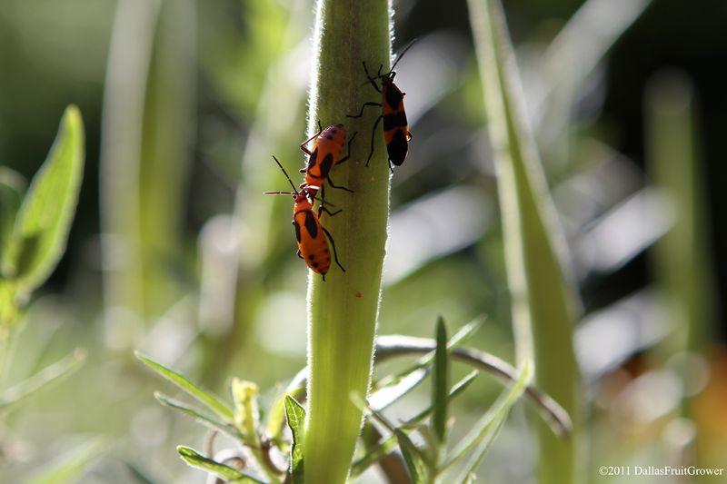Milkweed bugs adult