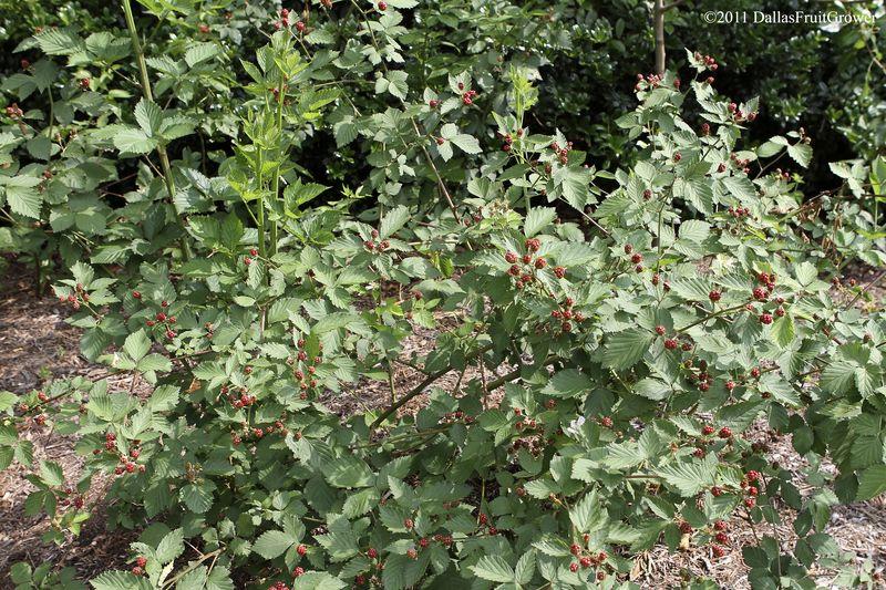 Blackberries immature 1