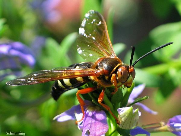 Cicada_killer_06_med