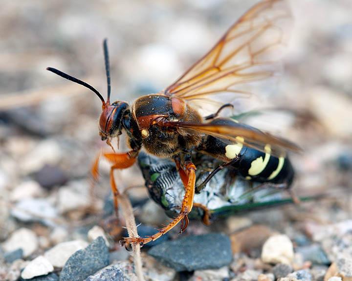 Cicada-killer6