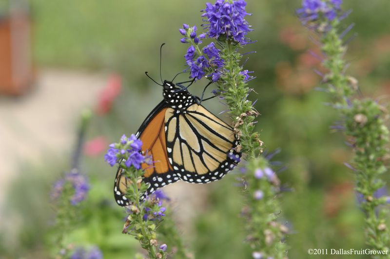 Monarch on speedwell
