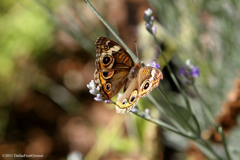 Buckeye butterfly with lavender