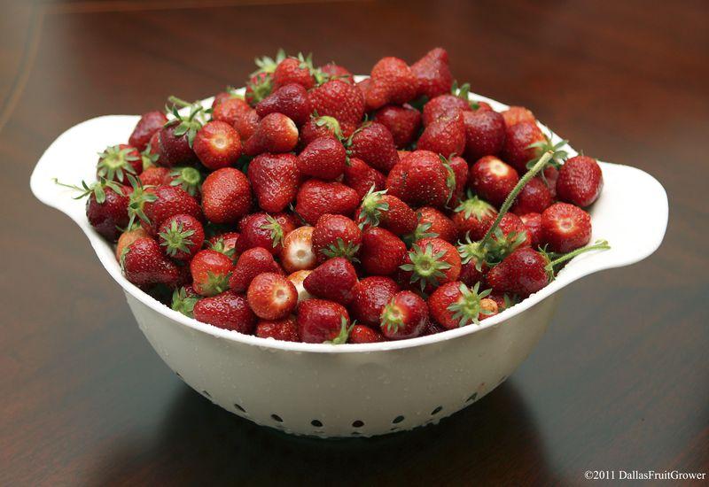 Bowl of strawberries 2011