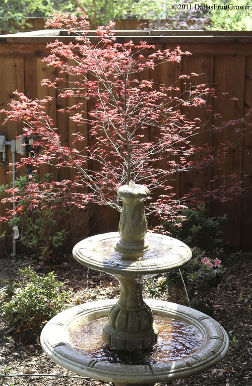 Japanese maple and fountain