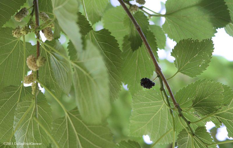 1 ripe mulberry