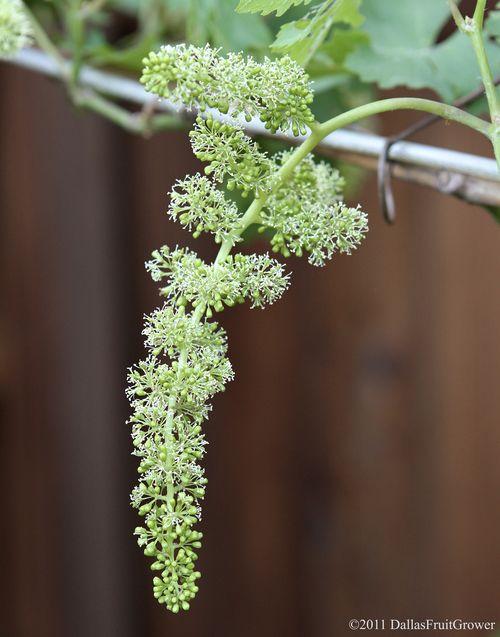 Grape blossom 3