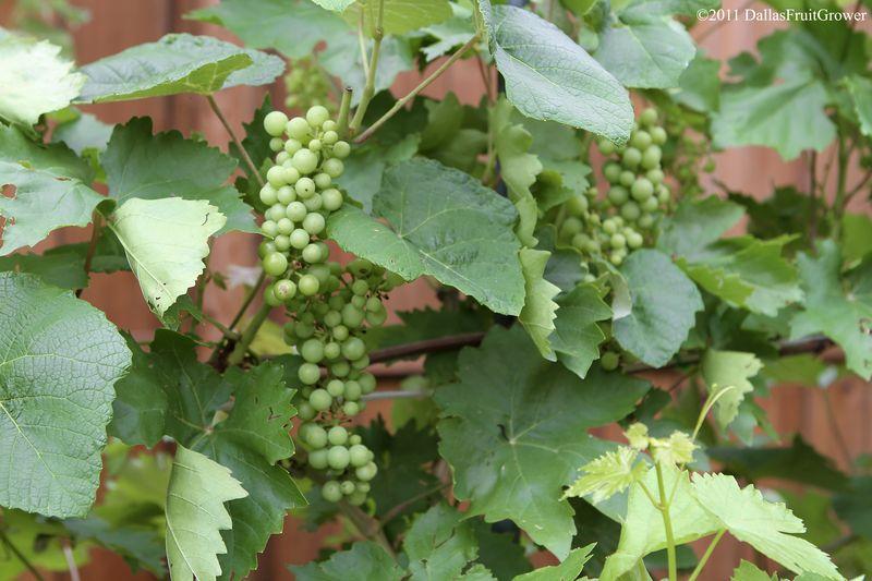 Grapes trellis 1