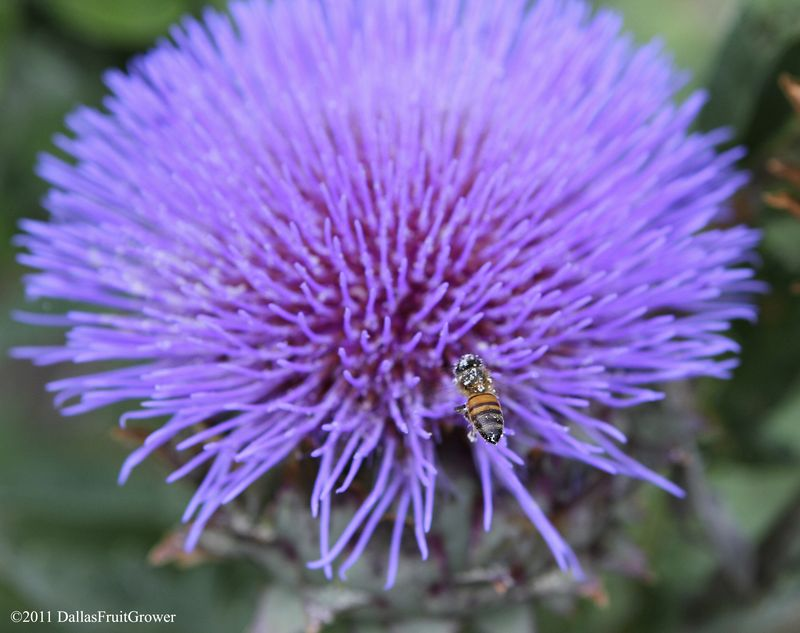 Artichoke with bee