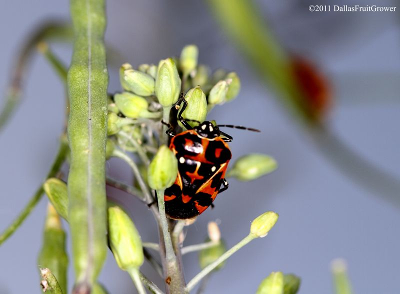 Harlequin bug - mature
