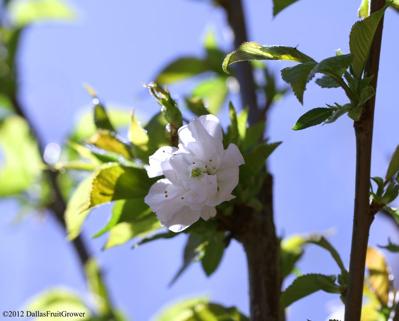 Cherry - royal lee bloom in sun