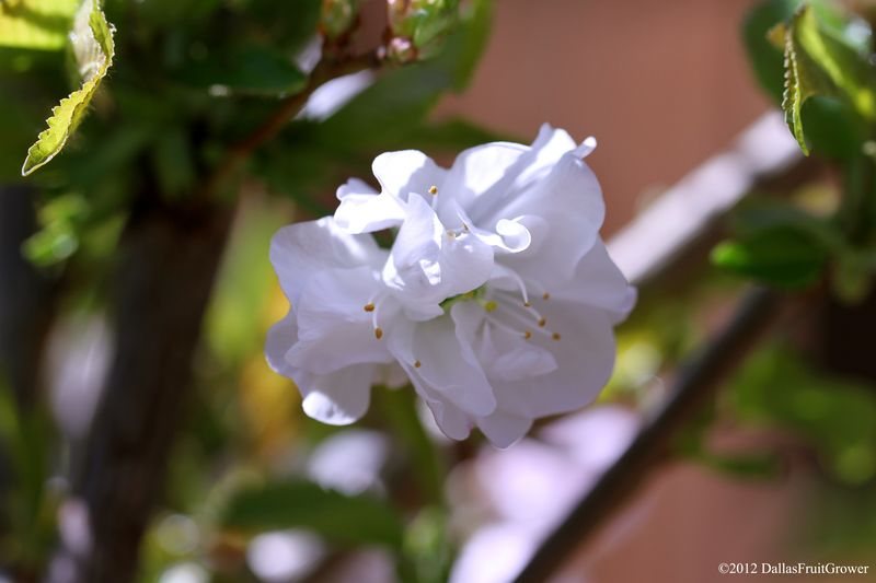 Cherry - royal lee blossom