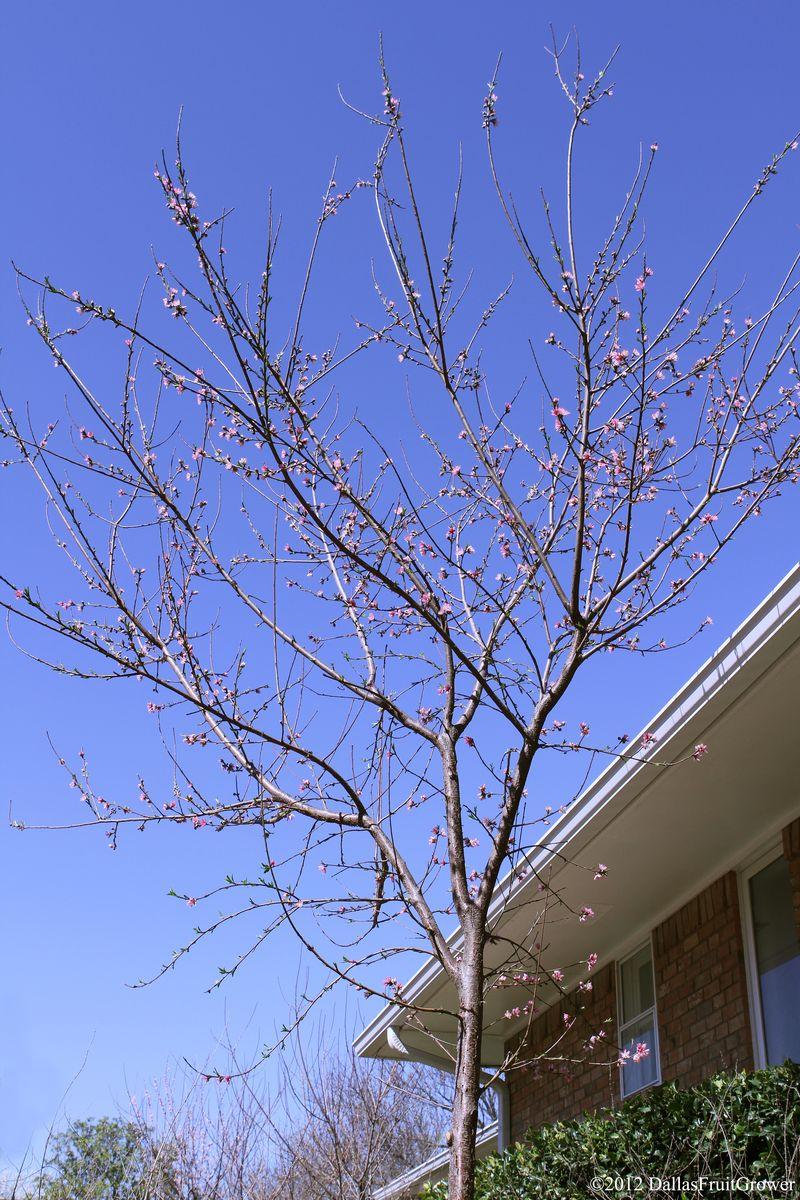 Peach - sentinel in bloom