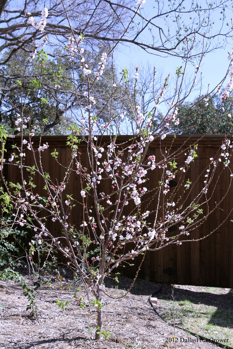 Apricot - blenheim big bloom