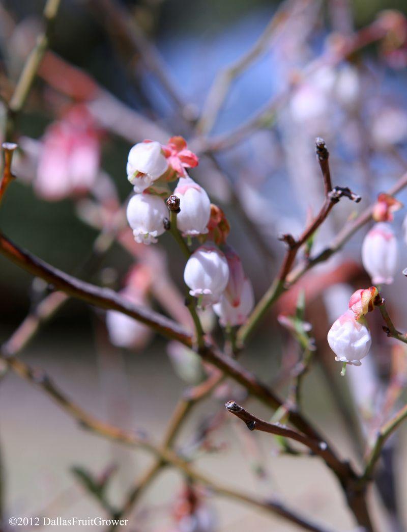 Blueberry - blossom close-up