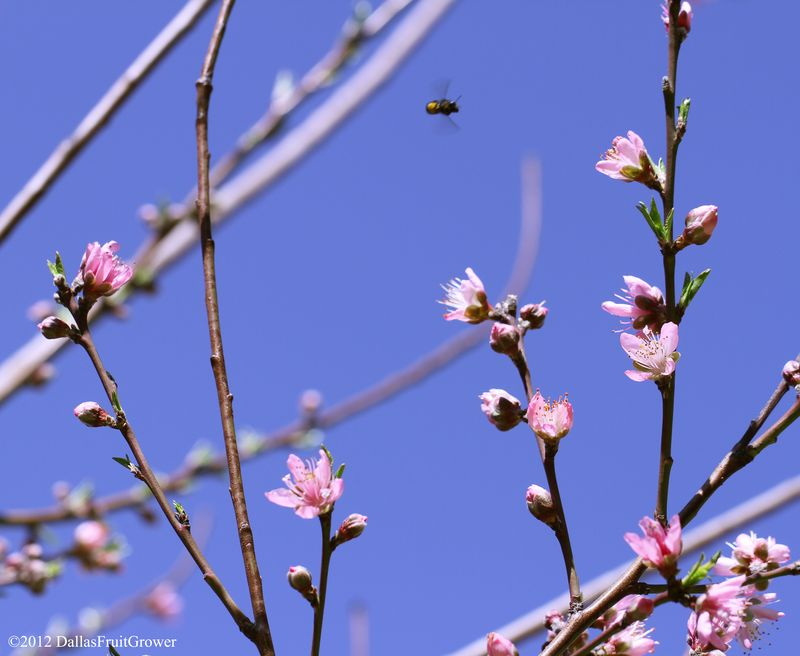 Peach - sentinel bloom with bee