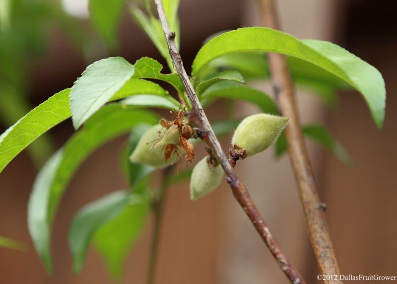 Peach - reliance small fruit