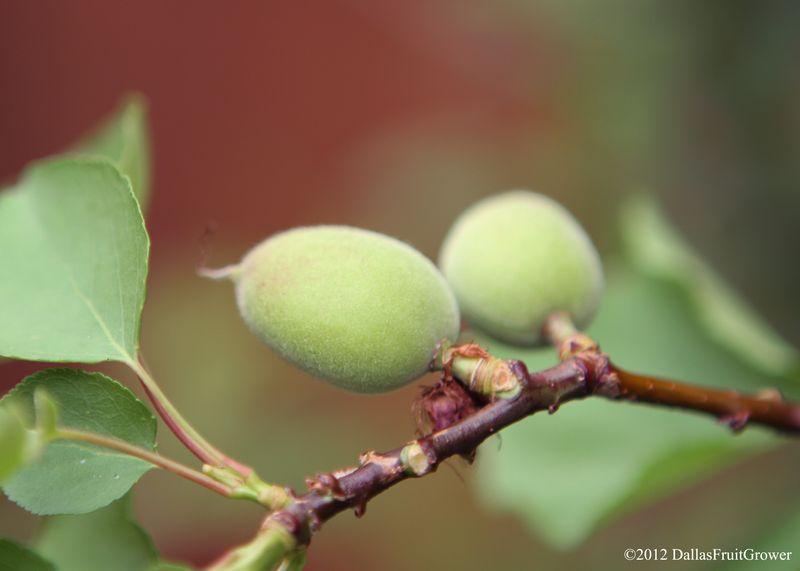 Apricot - small fruit