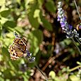 Lavender with buckeye butterfly