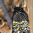 Swallowtail close-up